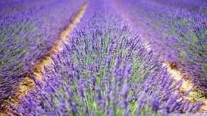 beautiful lavender flowers-wallpaper-1920x1080